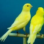 あさが来た|あさの蔵野炭鉱に鳥(カナリア)がいる理由が凄かった!